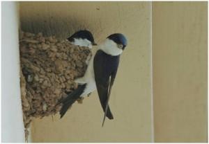 Huiszwaluwpaar op nest. Foto : Geert Drogt.