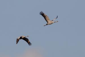 Twee van de vele duizenden Kraanvogels over Diepholz